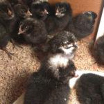 鶏のいる暮らし-地鶏 雛 HIYOKO-